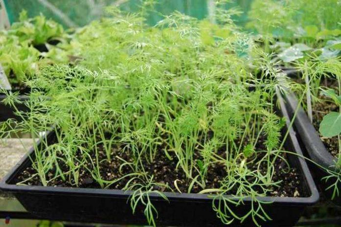 Рассада фенхеля – еще один способ выращивания в сложных климатических условиях