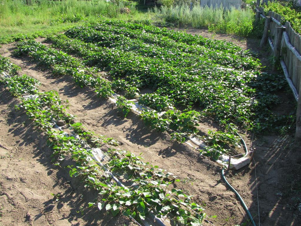 Узкие грядки отлично подходят для выращивания картофеля