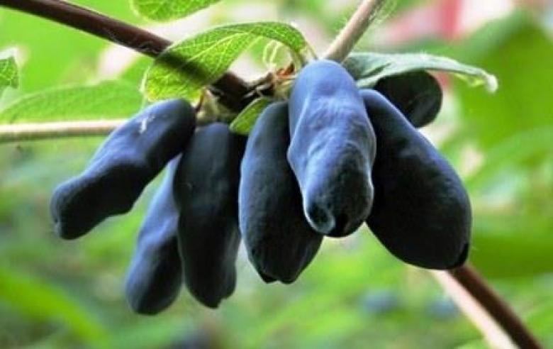 Веточка Бакчарской жимолости с поспевшими ягодами