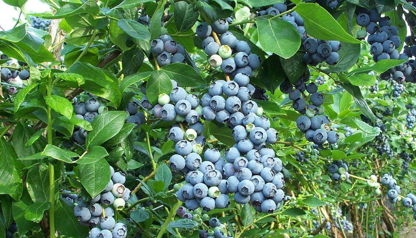Куст голубики столь красив, что может выполнять не только пищевую, но и декоративную функцию