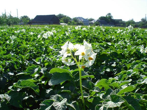Цветение картофеля Винета