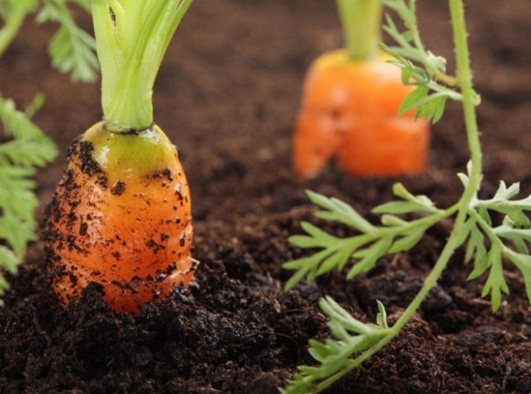 Сеялки для посева моркови