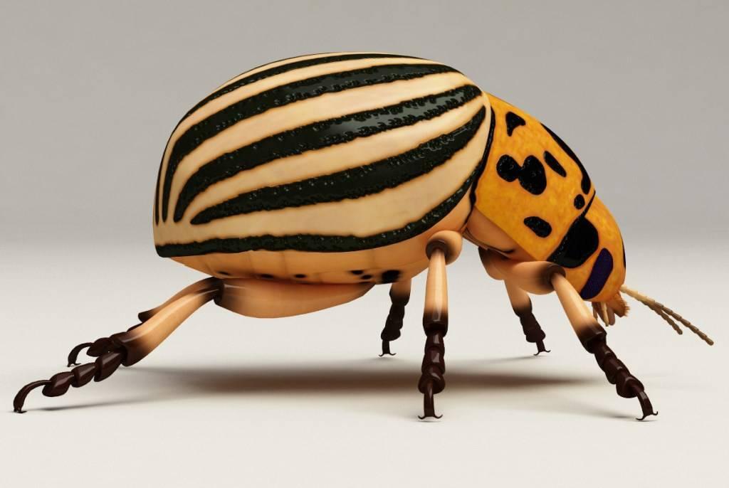 Колорадский жук – главная беда любого картофеля