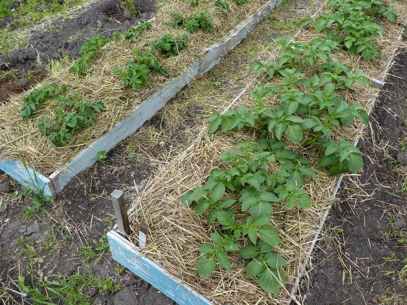 Короба ускоряют созревание картофеля