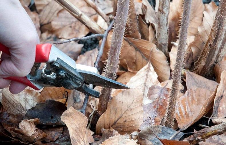 Своевременная обрезка малины – залог хорошего урожая
