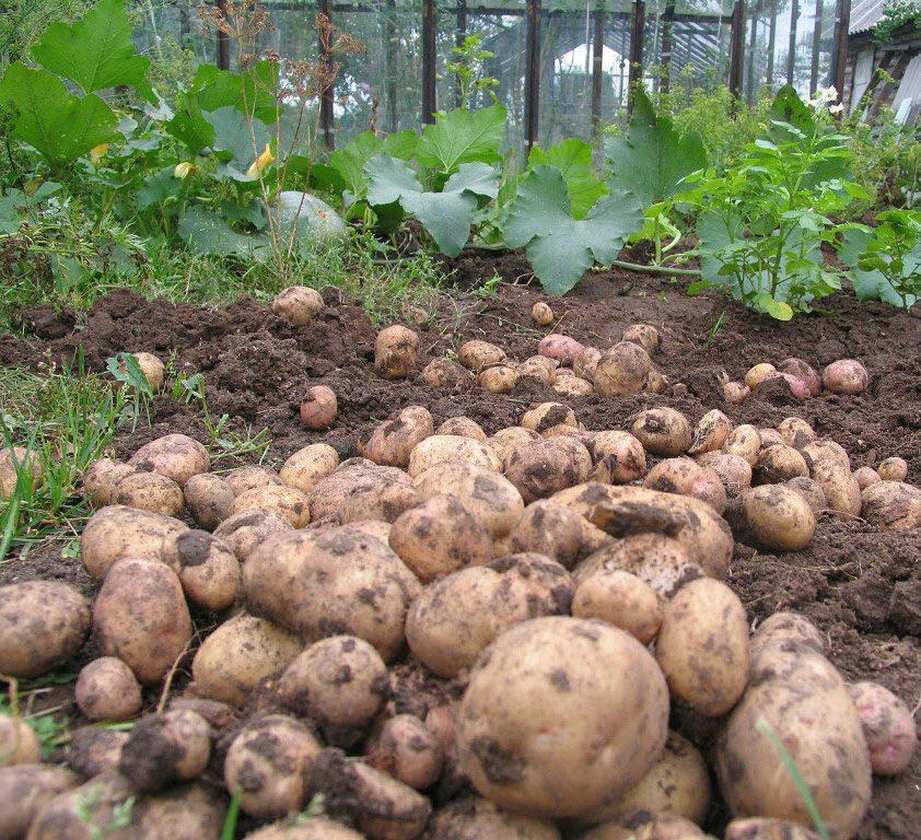 Урожай картофеля Рамос приятно радует своей обильностью