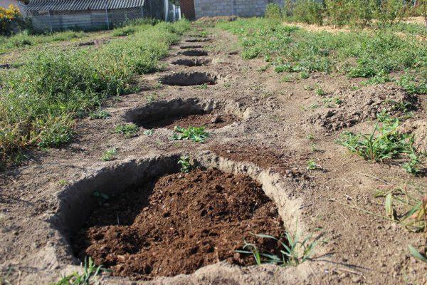Голубику можно сажать рядами, в канавы или ямы