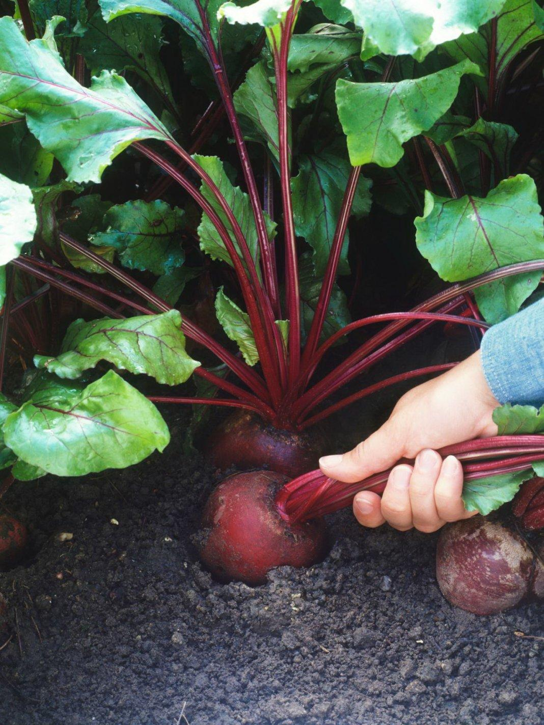 С чем можно сажать свеклу на одной грядке в огороде и на следующий год после нее