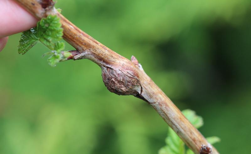 Любые заболевания малины проще ликвидировать на начальной стадии развития