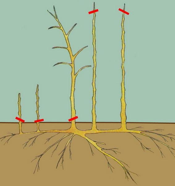 Обрезка малины – один из наиболее значимых моментов ухода за растением