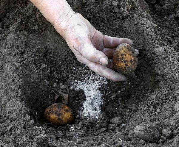 Внесение питательных средств во время посадки клубней картофеля