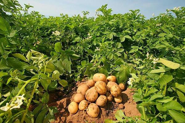 Полученный урожай, обладающий высокой товарностью