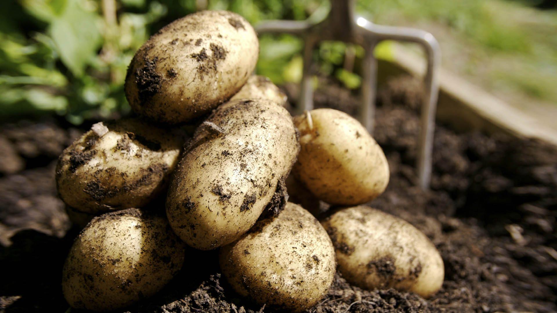 """Картофель """"Джелли"""": описание и характеристики сорта"""