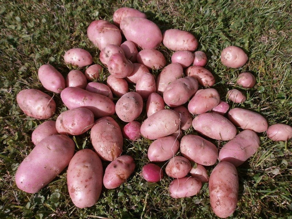 Картофель Манифест: описание и характеристика сорта, урожайность с фото