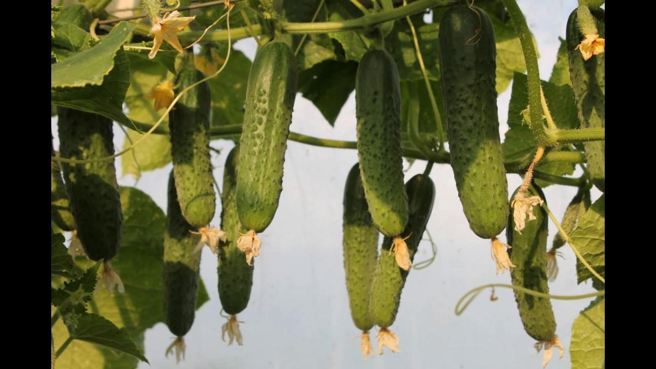 Огурец Гуннар урожай