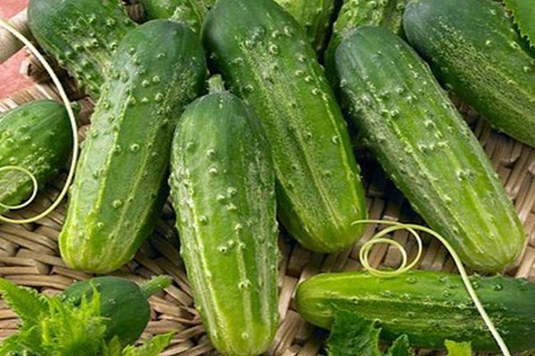 Огурец Мамлюк F1: описание сорта и технология выращивания с фото