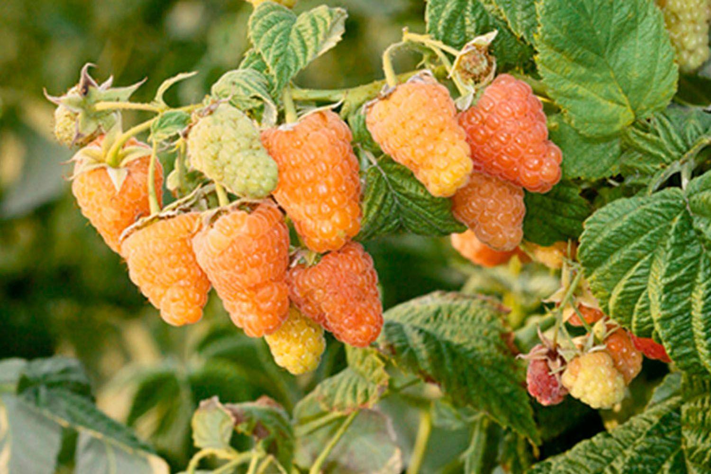 Яркие особенности желтой малины Оранжевое чудо