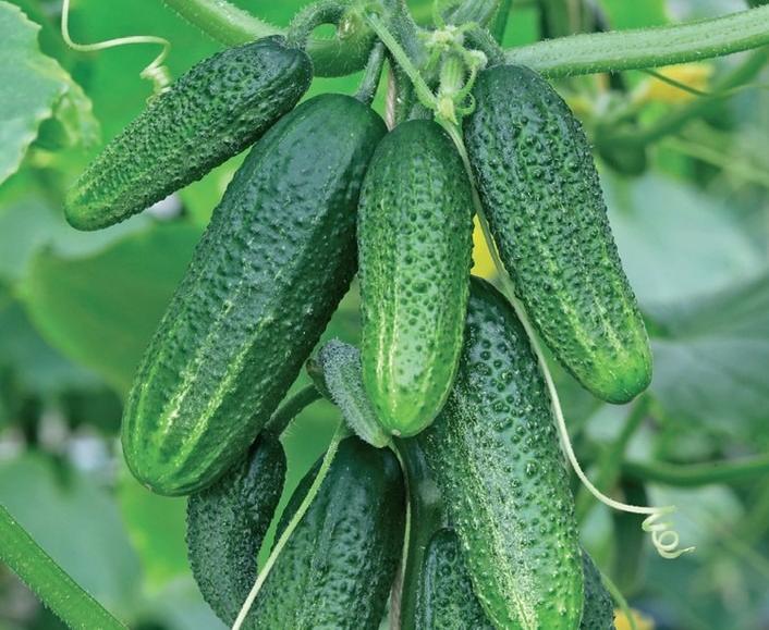 Огурцы Конни характеристика и описание сорта выращивание фото и отзывы