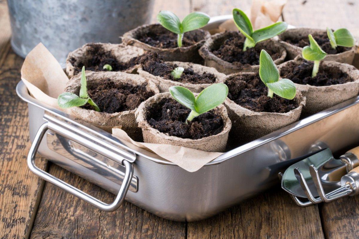 пикировать рассаду тыквы