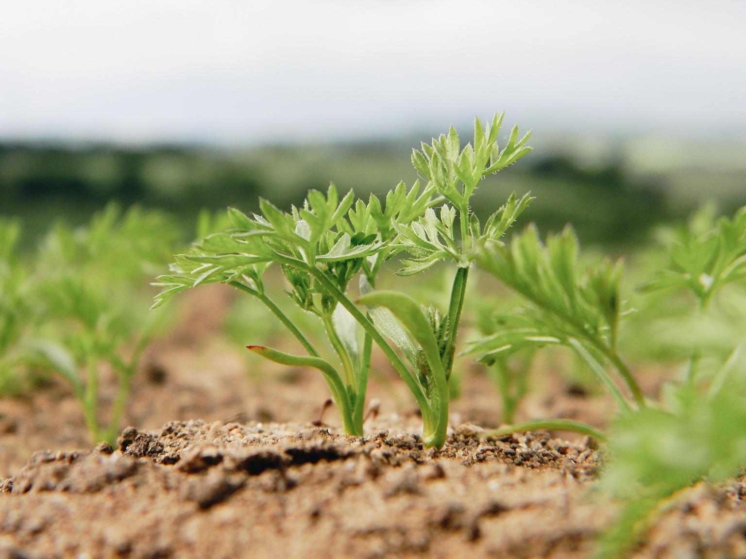 Петрушка выращивание в открытом грунте