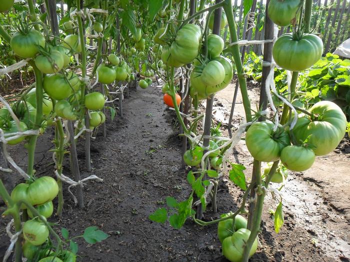 томат эм чемпион характеристика и описание сорта урожайность и отзывы фото кто сажал
