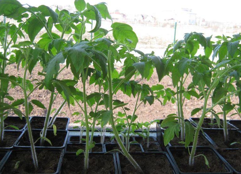 Рассада помидоров тонкая и бледная: почему у томатов очень длинная и слабая рассада, что делать