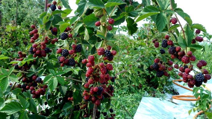 Ежевика садовая: обильный урожай