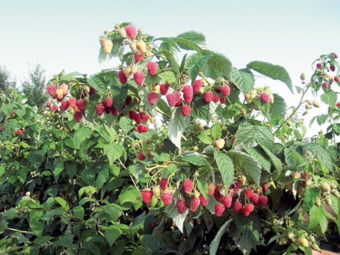 В сезон плодоношения
