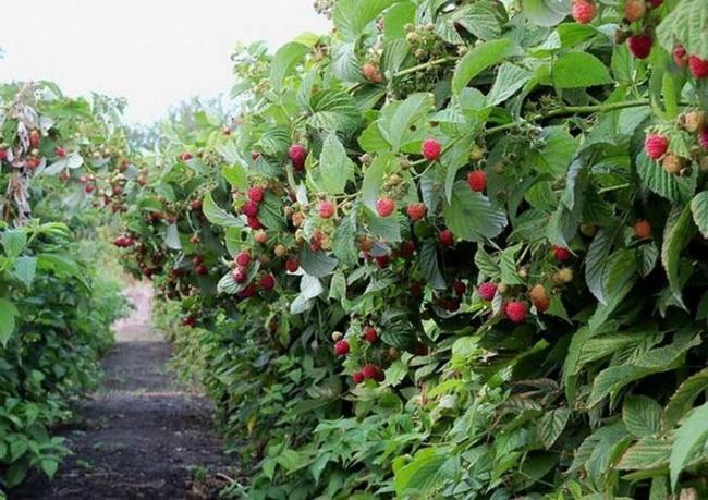 Рубиновая плантация