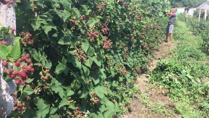 Фермерская плантация ежевики