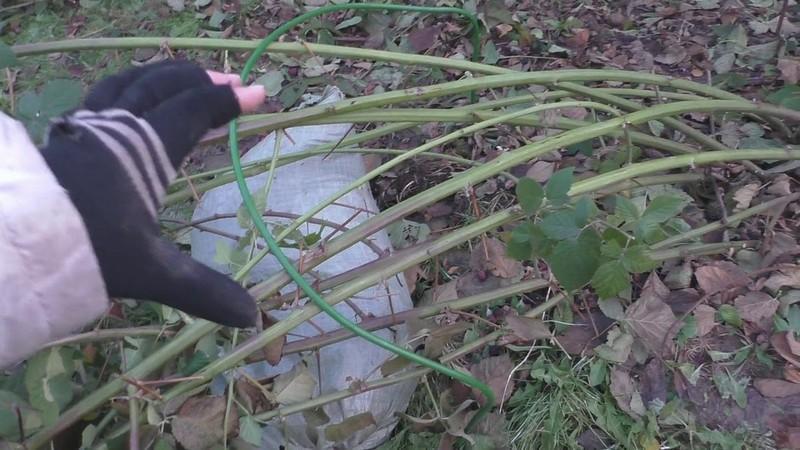 Как укрыть на зиму ежевику торнфри