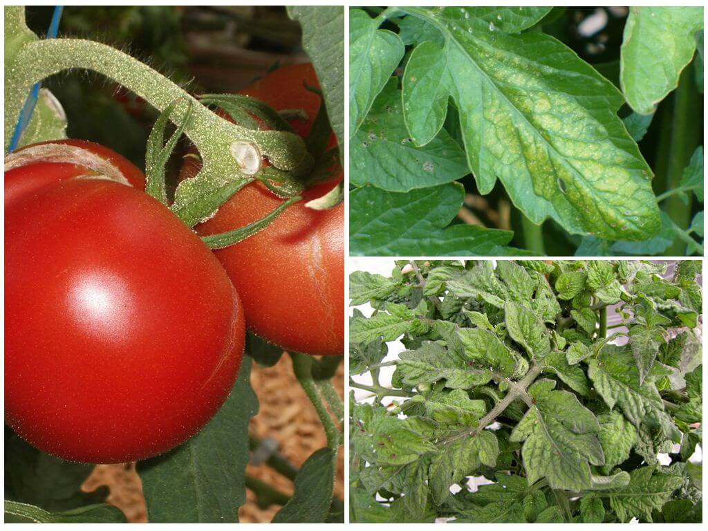 Тля на рассаде помидоров: как бороться и чем обработать