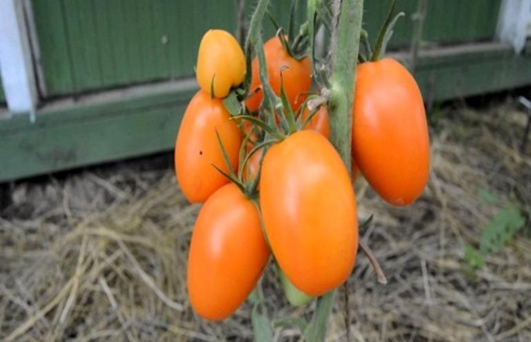 Томат Чухлома: описание сорта, характеристики, урожайность