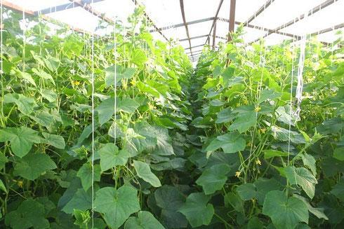 Огурец Щедрик f1: описание, достоинства, технология выращивания рассады, прямой посев семян, уход, отзывы