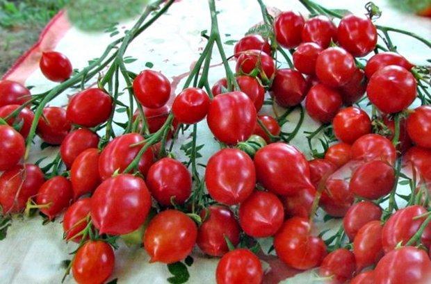 Томат Поцелуй герани (Geranium Kiss): характеристика и описание сорта Картофельный лист, отзывы об урожайности помидоров, видео и фото семян