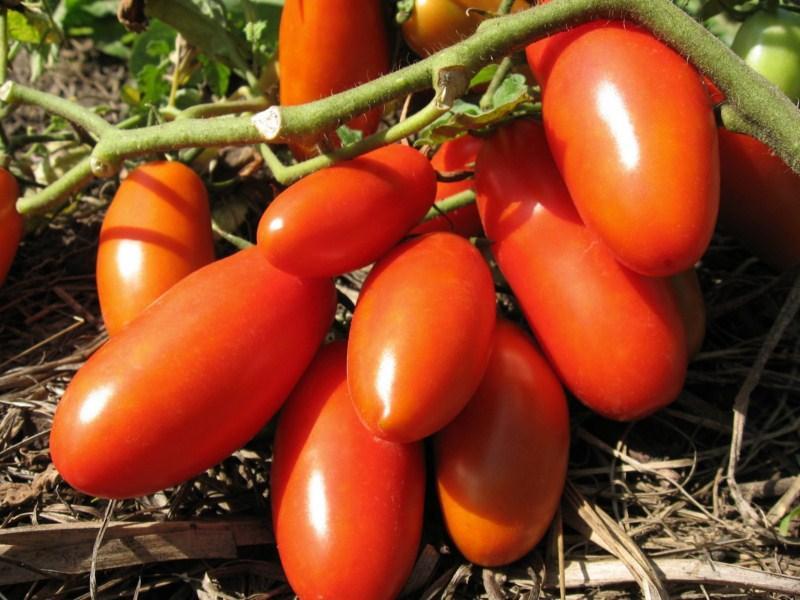 Томат Московская Грушовка как получить хороший урожай