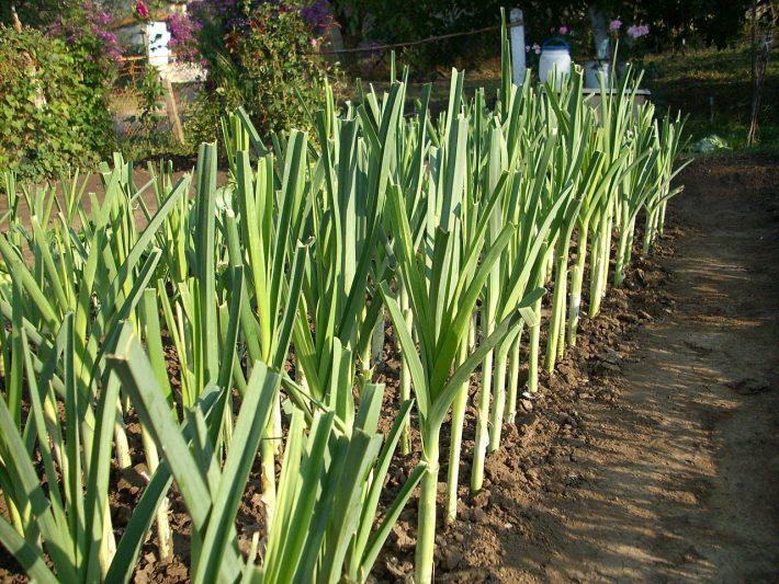 Лук порей сорта уход выращивание в открытом грунте, теплице