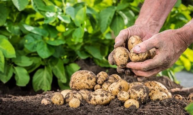 Сортовые особенности и другие показатели должны быть учтены до момента высадки в подготовленную почву