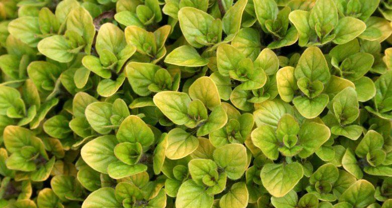 Выращивание душицы обыкновенной: особенности посадки и ухода. Как вырастить орегано из семян (личный опыт) Как правильно посеять душицу на рассаду