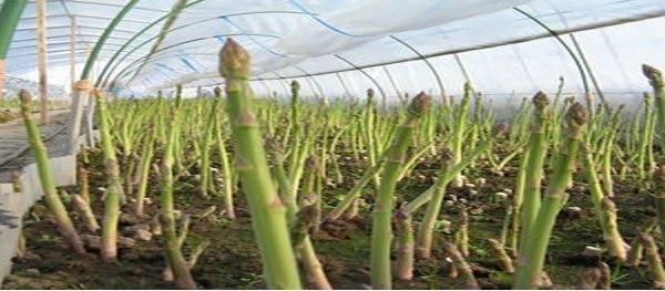 Спаржа выращивание и уход в открытом грунте
