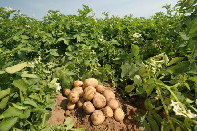 Картофельный куст должен быть здоровым, чтобы дать хороший урожай