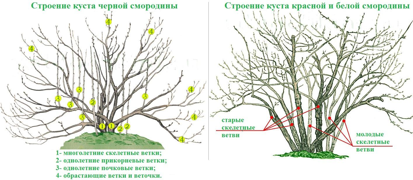 Особенности строения куста смородины разных цветов