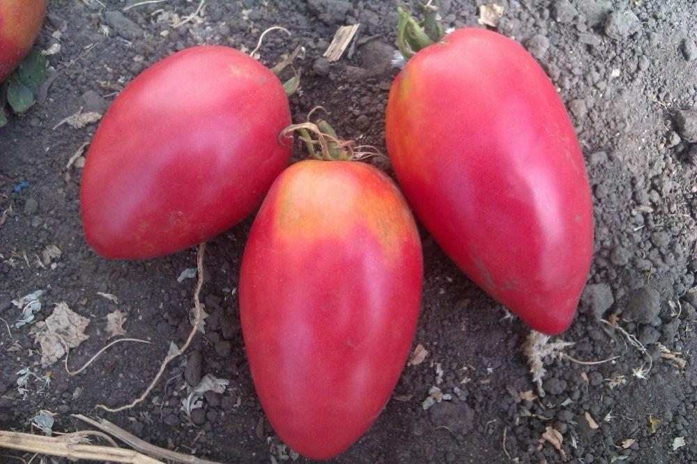 Сорт помидор настенька
