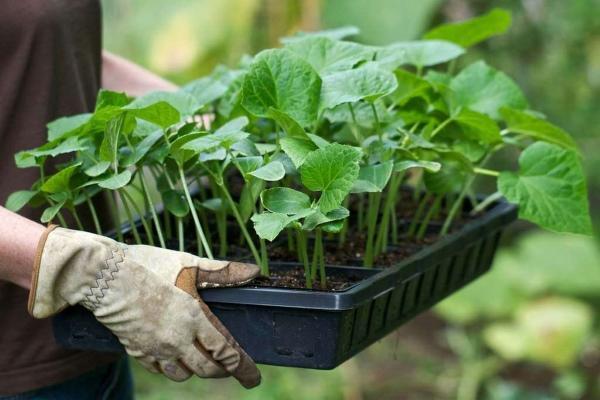 Секреты выращивания кабачков хитрым способом в бочке, в теплице