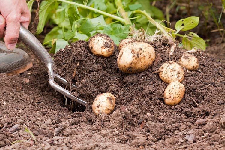 Внимание к особенностям сорта – залог хорошего урожая