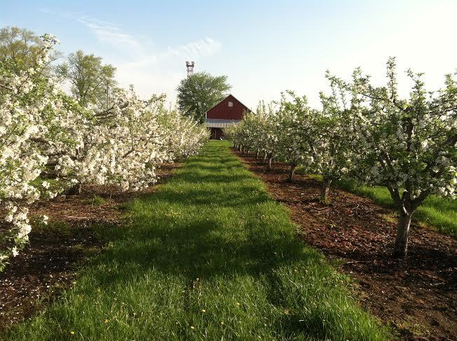 Что посадить под яблоней на даче в саду: советы