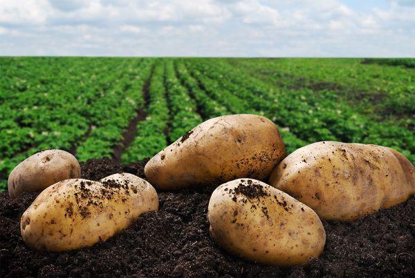 Посадка картофеля: что вносить в лунку