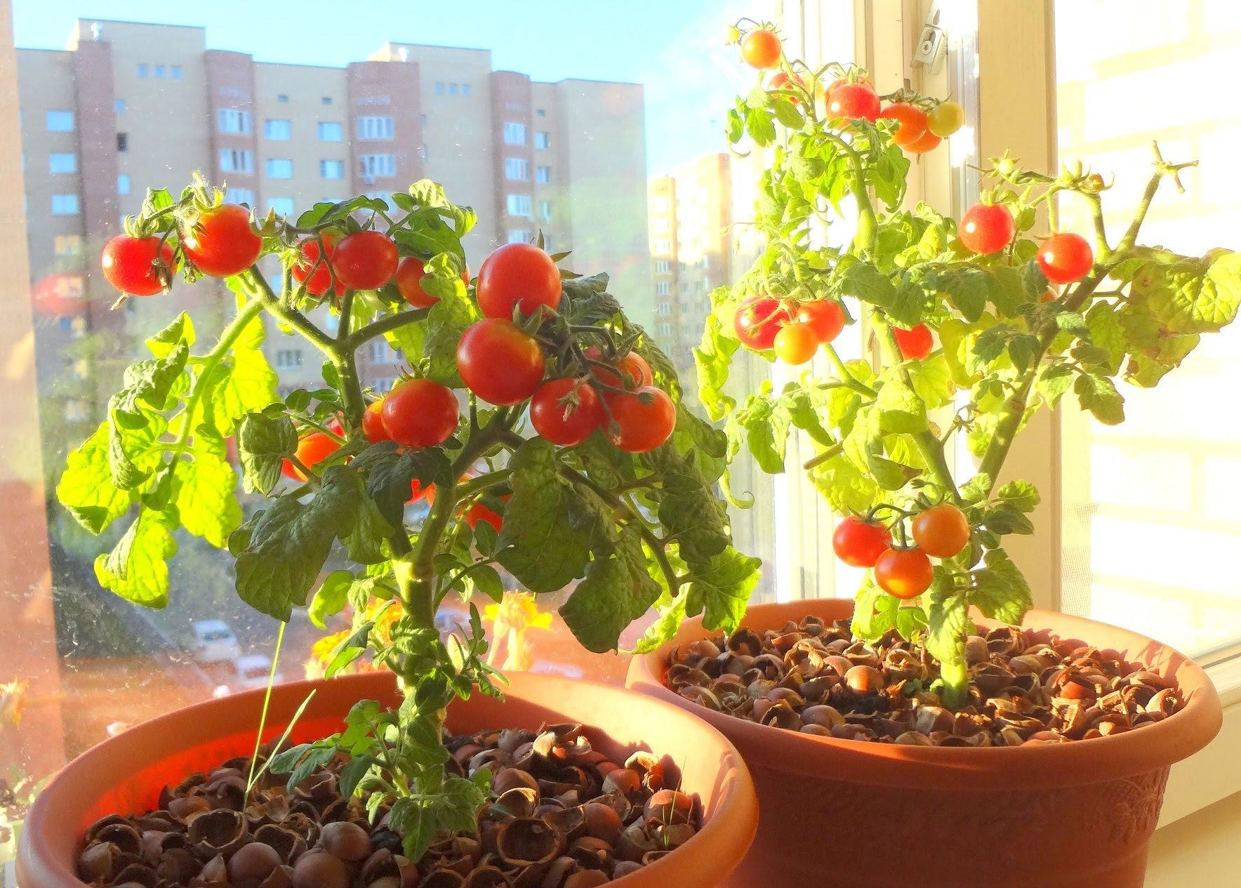 когда лучше садить помидоры для балкона фото достаточно