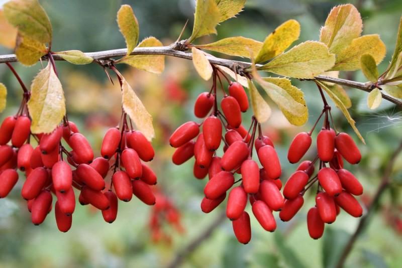 Сорта и виды барбариса. Выращивание и польза его плодов