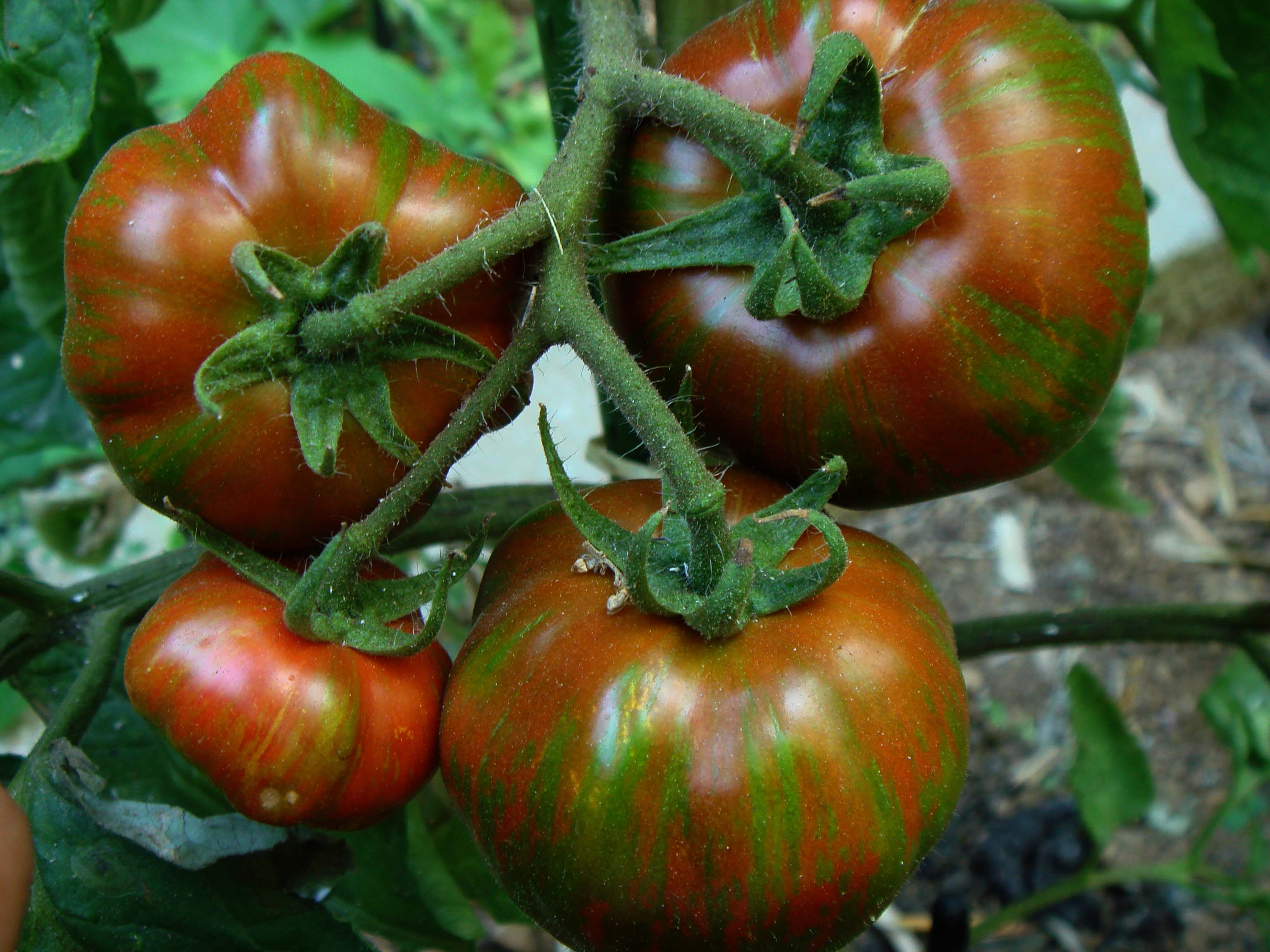 Чёрная зебра томат